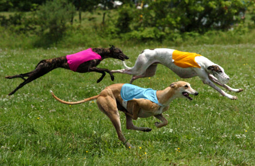 Greyhound Jump and Run